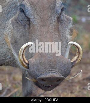 Südafrika, ein fantastisches Reiseziel Dritter und Erster Welt gemeinsam zu erleben. Warzenschwein close-up mit gebogenen Stoßzähnen. Stockfoto
