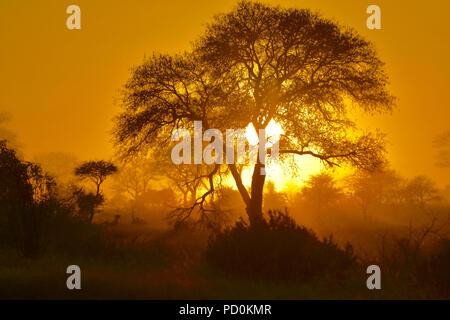 Südafrika, ein fantastisches Reiseziel Dritter und Erster Welt gemeinsam zu erleben. Ethereal Sonnenaufgang am nebligen Morgen im Krüger National Park. Stockfoto