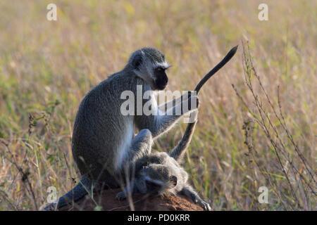 Südafrika, ein fantastisches Reiseziel Dritter und Erster Welt gemeinsam zu erleben. Meerkatze Mama spielen mit schwanz Ihres Babys. - Stockfoto
