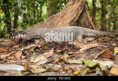 Varan genannt Monitor lizzard in Sabang Puerto Princesa Subterranean River National Park, Palawan, Philippinen. - Stockfoto