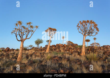 Köcherbäume in der untergehenden Sonne, Wald und touristische Attraktion des südlichen Namibia - Stockfoto