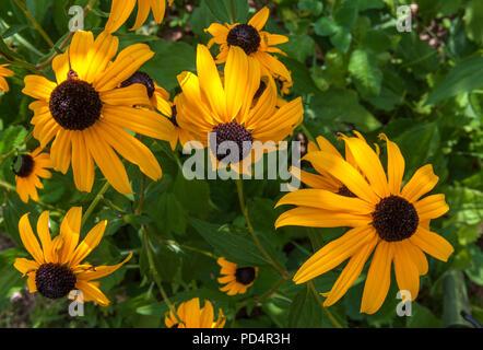 Rudbeckia fulgida Blumen - Stockfoto