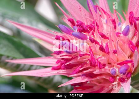 Nahaufnahme von bromelie Blume, tropischen bunte Blume - Stockfoto