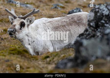 Norwegen, Svalbard, Spitzbergen. Svalbard Rentier (Rangifer tarandus platyrhynchus) im Schnee. - Stockfoto