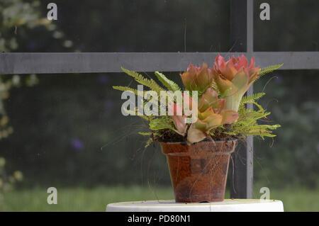 Reifen Hinterhof Topfpflanzen farbenprächtige Bromelien isolierten Grünen Farn Foilage Close-up kleiner Brauner Topf saisonale Botanischen Gruppe Hintergrund - Stockfoto