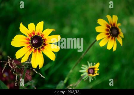 Echinacea-Blumen - Stockfoto