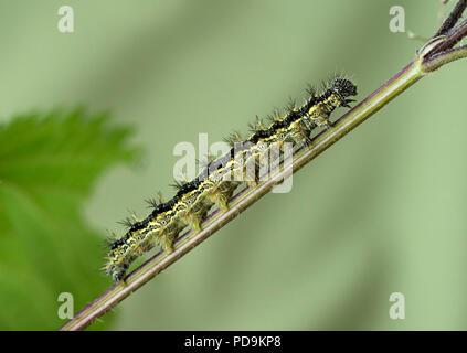 Caterpillar auf Stammzellen, kleiner Fuchs (Nymphalis urticae), Schweiz