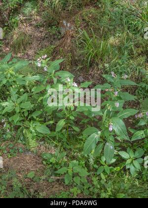 Exemplare der Himalayan Balsam/Impatiens gladulifera in einem ausgetrockneten Entwässerungsgraben während der Hitzewelle 2018 in Großbritannien. Invasive Unkräuter, die nassen Boden mag.