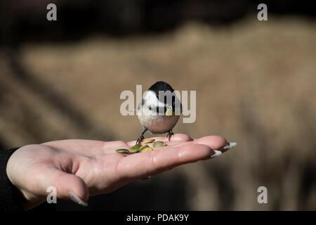 Kleiner Vogel samen Essen aus einem Personen Hände. Süße kleine Vogelbabyfütterung aus dem Palm von einer Frau. - Stockfoto