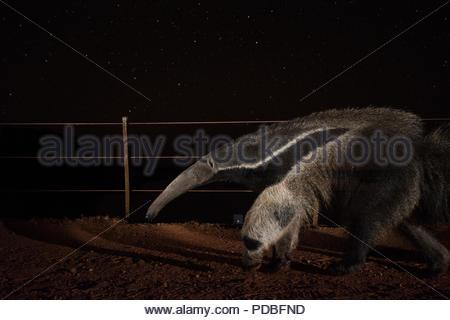 Eine Kamera trap erfasst einen riesigen ameisenbär im Pantanal von Mato Grosso Sur in Brasilien. - Stockfoto