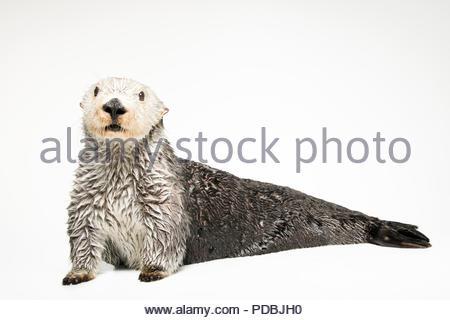 Ein Southern Sea Otter, Enhydra lutris Nereis, im Aquarium des Pazifik. - Stockfoto