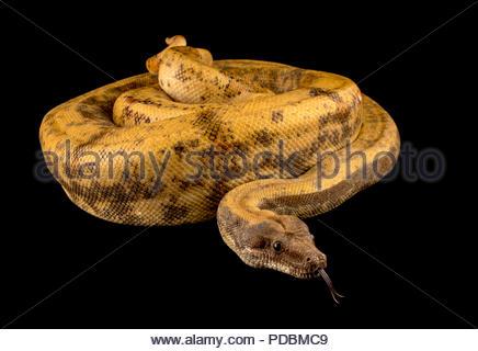 Pearl Island Boa constrictor, Boa constrictor sabogae, Phoenix Zoo. - Stockfoto