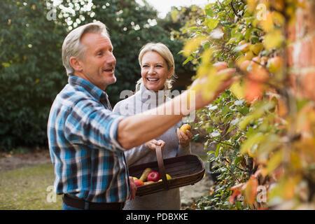 Reifes Paar ernten Äpfel im Garten - Stockfoto