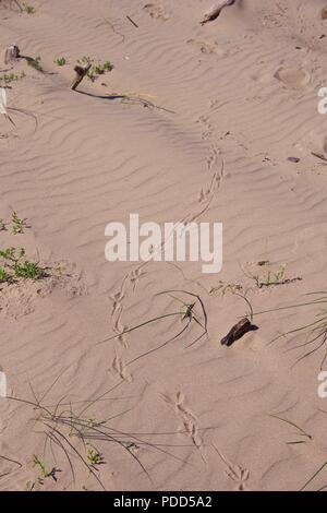 Gemeinsame oder Vivipar Lizard (Zootoca Vivipara) Tracks in Rippled Strand Sand von Dawlish Warren Nature Reserve. Devon, UK. August, 2018. Stockfoto