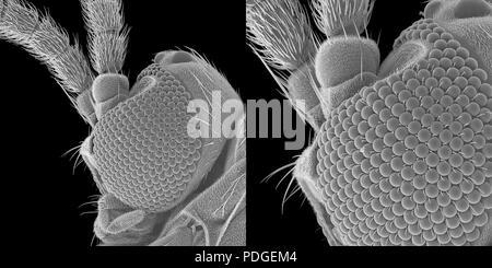 Winzige trauermücke unter dem Rasterelektronenmikroskop - Stockfoto