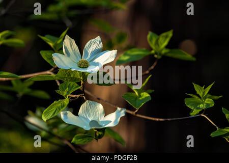 Pazifischen hartriegel cornus nuttallii blüten. hood river county