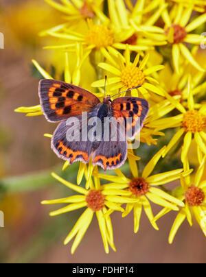 Kleine Kupfer Aberration extensa nectaring auf Ragwort. Hurst suchen, East Molesey, Surrey, England. Stockfoto