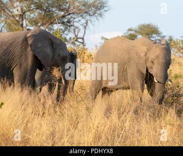 Afrikanische Elefanten - Stockfoto