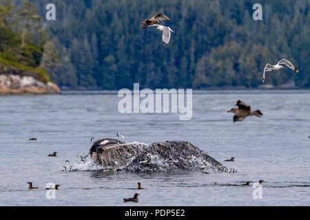 Buckelwale (Megaptera novaengliae) Ausfallschritt Fütterung in der Broughton Archipel, erste Nationen Gebiet, British Columbia, Kanada. - Stockfoto