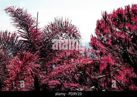 Einen schönen Baum mit Filialen in einem Garten in Farbe Infrarot - Stockfoto