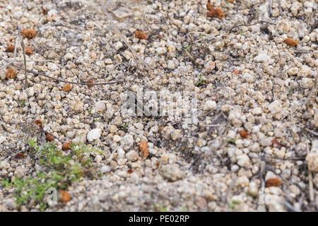 Kleine graue Heuschrecke auf dem Boden alert getarnt zu fliehen - Stockfoto