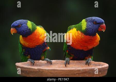 Papageien Bilder - Stockfoto
