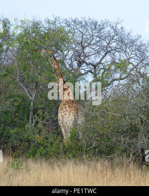 Giraffe - Stockfoto