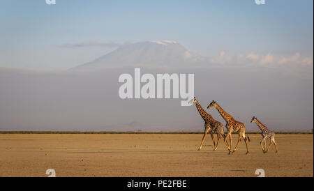 Drei Giraffen kreuz Amboseli Lake vor der Kilimanjaro - Stockfoto
