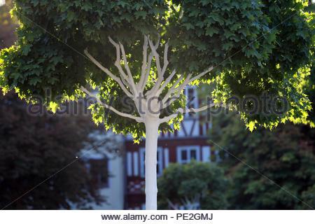 Am Abend Licht auf schöne grüne Blätter in der Vastle Square in Coburg, Deutschland - Stockfoto