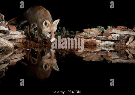 Fox, Vulpes vulpes, Trinkwasser mit Reflektion - Stockfoto