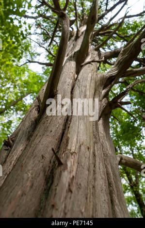 Die Säulenförmige Stamm einer getrockneten Redwood Baum, mit Twisted verzweigt sich zu erweitern. Lebensraum Education Center und Wildlife Sanctuary, Belmont, MA, USA Stockfoto