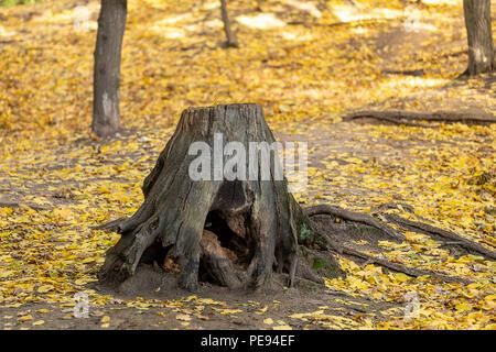 Baumstumpf mit krummen Wurzeln im schönen Herbst wilden Wald. Magic forest mit gelben Herbstlaub Hintergrund - Stockfoto