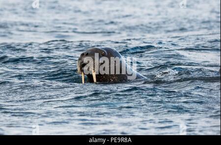Walross kommt das zodiak Boot schwimmen von Land und im arktischen Meer um Erscheinen zu untersuchen - Stockfoto