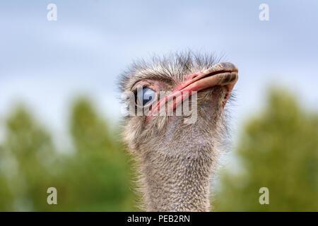 Der Kopf einer Strauß closeup auf einen unscharfen Hintergrund. - Stockfoto