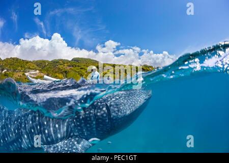 Eine kommerzielle Whale Shark Begegnung für Touristen mit Zubringer auf einem Kanu und ein Walhai, Rhiniodon Typus, unten, Oslob, Philippinen. Dies ist - Stockfoto