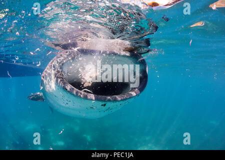 Ein Walhai, Rhiniodon Typus, mit seinen Mund öffnen, Fütterung auf Garnelen an der Oberfläche, während ein kommerzielles Whale Shark Begegnung für Touristen, Oslob, - Stockfoto