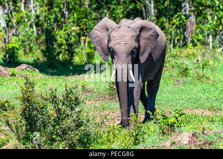 Afrikanischer Elefant oder Loxodonta cyclotis in der Natur - Stockfoto