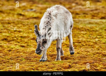 Neugierige junge Svalbard Rentier (Rangifer tarandus platyrhynchus) oder Spitzbergen, Svalbard, Europa - Stockfoto