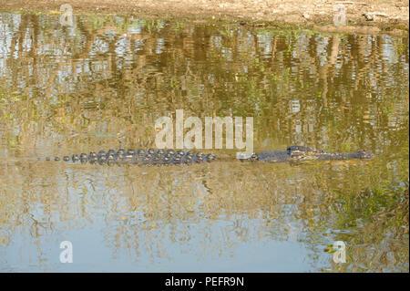 Salzwasser Krokodil, Gelber Fluss, Kakadu National Park, Northern Territories, Australien - Stockfoto