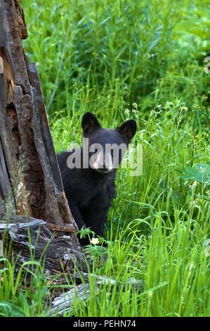 Black Bear Cub peaking aus hinter einem Baum an den Betrachter in der Yellowstone National Park, Wyoming, USA. - Stockfoto