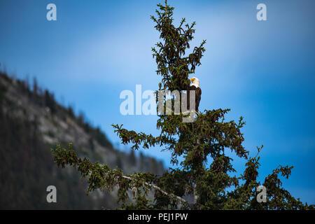 Weißkopfseeadler im Jasper Nationalpark - Stockfoto