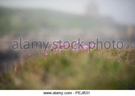 Thirft wächst auf Klippe an der See in Großbritannien - Stockfoto