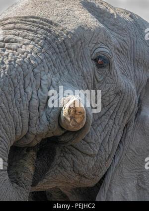 Nahaufnahme des Gesichts des Afrikanischen Elefanten, Khwai Private Reserve elephant blind, Okavango Delta, Botswana - Stockfoto