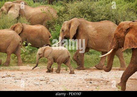 Gruppe Elefanten wandern in einem trockenen Flussbett und durch den Busch, Samburu Game Reserve, Kenia - Stockfoto
