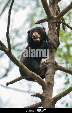 Ein Bornesischen sun bear (Helarctos malayanus) oben auf einem Baum, auf der Suche nach unten. Bornesischen Sun Bear Conservation Centre, Sepilok, Sabah, Malaysia. - Stockfoto