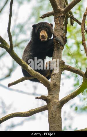 Bornesischen sun bear (Helarctos malayanus) an der Spitze eines Baumes, den Blick in die Kamera. Bornesischen SunBear Conservation Centre, Sepilok, Sabah, Malaysia - Stockfoto