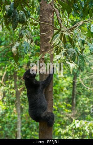 Ein Bornesischen sun bear (Helarctos malayanus) klettern auf einen Baum. Bornesischen Sun Bear Conservation Centre, Sepilok, Sabah, Malaysia. - Stockfoto