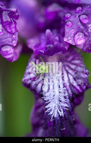 Purple Iris im Morgentau. Grashüpfer auf einem Iris Blume. - Stockfoto
