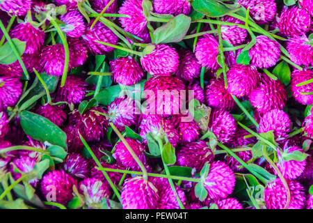 Blick auf die Welt ewig, Gomphrena Unkraut, Pearly ewigen, Bachelor, Globus Amaranth, Schaltfläche agaga Blume für den Verkauf in den Blumenmarkt ein - Stockfoto