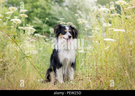 Nala die Miniatur Australian Shepherd, sitzen unter hohen Gras - Stockfoto